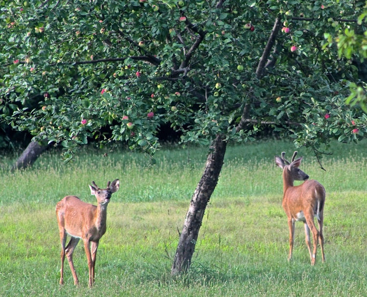 In A Normal Year There Are Plenty Of Apples For Us And The Critters