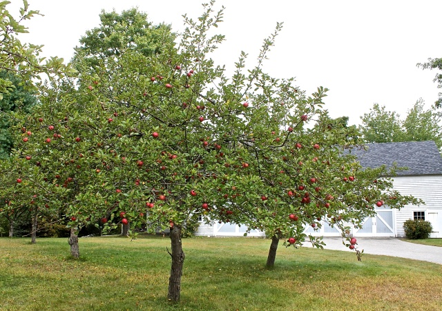 Orchard In Front Of Our Barn Where Gala
