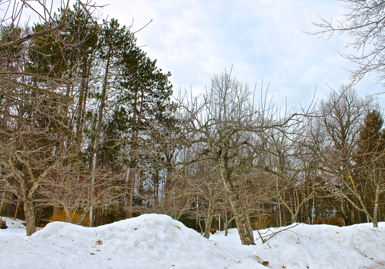 Pruning The Apple Trees Is Postponed This Year Because Of The Snow