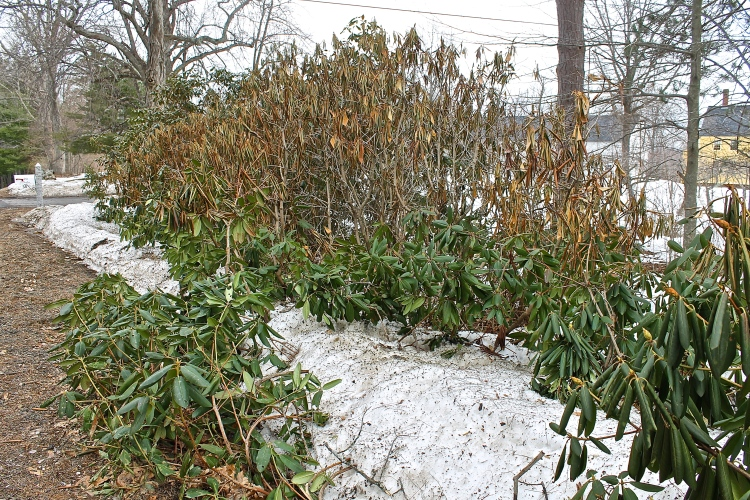 Rhododendrons Damaged By Crushing Snow And Harsh Temperatures Below Zero