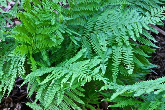 Green Ferns Line The Rock Walls That Surround Our Property