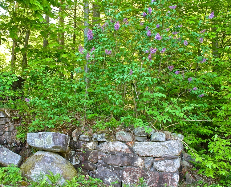 Lilacs In Bloom Around The Old Rock Foundation