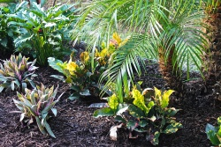 Crotons And Oyster Plants Planted Beneath The Pygmy Date Palms