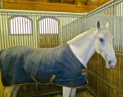 This Lippizzanner Is Warm Inside The Stables On A Rainy Day