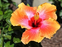 Fiesta Multicolored Hibiscus