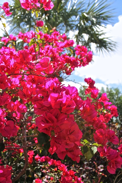 Hot Pink Bougainvillea Against The Blue Sky