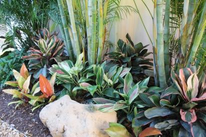 Beautiful Sherbet Cordylines In The Shade Garden