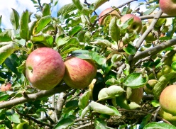 Apple Orchards Ready To Be Picked