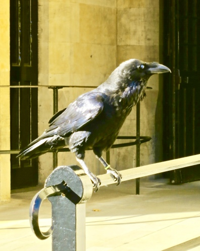 One Of The Seven Ravens At The Tower Of London