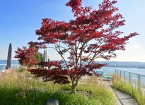 Rooftop Japanese Maple