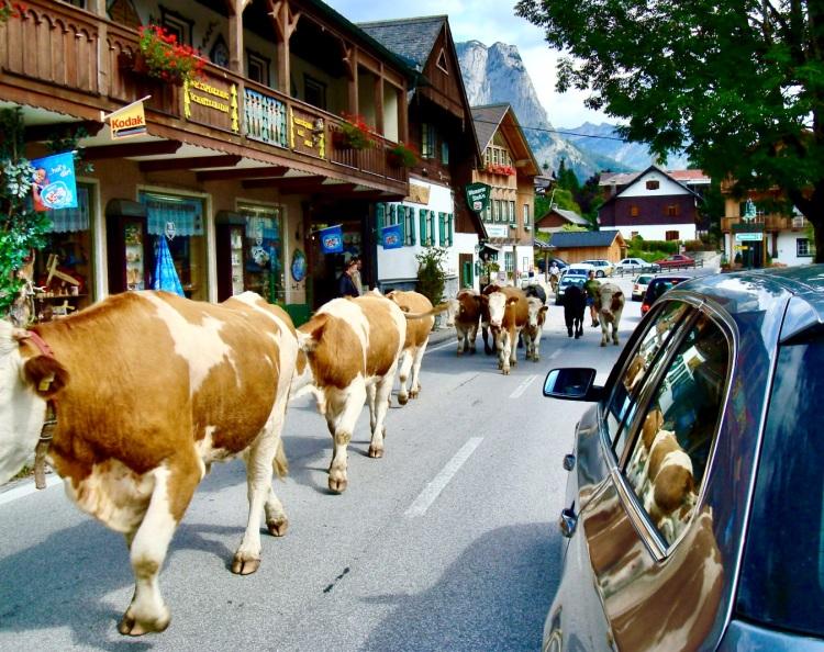 cows parading through town