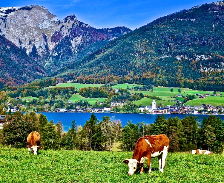 cows grazing in the green pastures